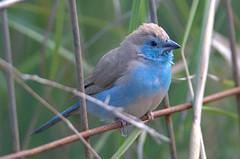 301V1678 Blue Waxbill (BobLewis) Tags: bird birds namibia bluewaxbill uraeginthusangolensis uraeginthus