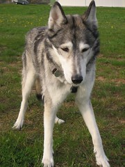 Husky (2) (pilot_micha) Tags: dog animal husky hund tier elaeropuerto bête aérodrome elanimal campodeaviación elaeródromo