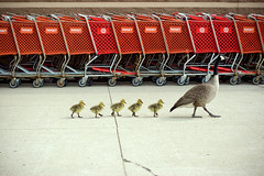 Taking the kids to Target (chrisglass) Tags: goose goslings target