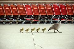 Taking the kids to Target (chrisglass) Tags: goose goslings target