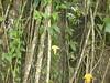 96.11.16竹崎鄉光華村茄苳風景區內的茄苳老樹DSCN3202