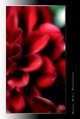 * (AndreaKamal.com) Tags: bravo flowerotica anawesomeshot aplusphoto megashot obq soslowconnectioncantviewthepics httpwwwandreakamalde