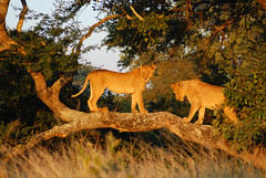 Kruger park Afrique du sud 5 (meunierd) Tags: africa park elephant its animal out zoo leo south lion young owl zebra there eden parc sud kruger afrique jeune hibou zebre savane unature unaturefav