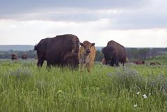 Twas a Stormy Evening (dbarronoss) Tags: bison tallgrassprairiepreserve pawahuskaok wildbisonbison