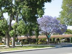 IMG_0015 (kenk16) Tags: trees jacaranda camarillo