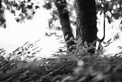 victora park (osnorlaxo) Tags: nature tress bnw