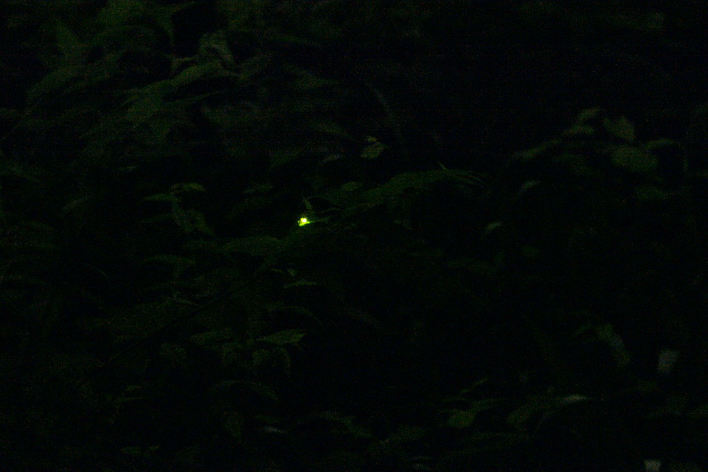 a firefly