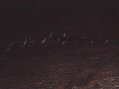 PC150010a (Blake the Black) Tags: penguin tasmania tassie bicheno