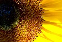 tournesol (alternativefocus) Tags: flower macro yellow pentax sunflower naturelovers flowerotica tournesoleil pentaxk10d frhwofavs alternativefocus natureselegantshots