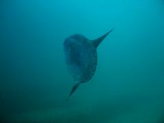Mola Mola (I'd rather be...) Tags: california montereybay carmel molamola oceansunfish monasterynorth