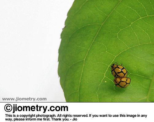 Mating bugs on a leaf