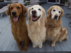 Trio of Gold (dog ma) Tags: pets cute dogs animals adorable goldenretrievers dogma petportrait tamron1750 nikond80 photofaceoffwinner photofaceoffplatinum pfogold pfoplatinum beautifulworldchallenges rascalsammyanddaisy threedifferentshadesofgold