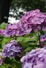 雨音は紫陽花の調べ