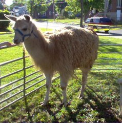 llama at petting zoo