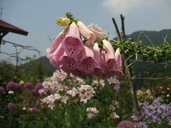 very glaringly... (enkeleilla) Tags: flowers finepix a500