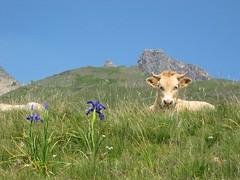 la vache, l'iris et l'Ossau (JM Fumeau) Tags: iris france montagne pyrenees vache pyrnes pirineos barn ossau pyrnesatlantiques aneu