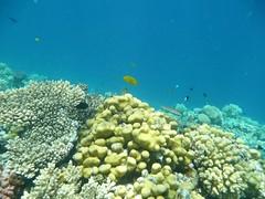 P1000235 (henkerik) Tags: red sea fish coral gulf dive egypt diving el snorkeling gouna exotic reef hurghada suez