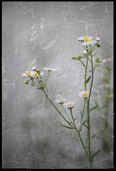 Annual fleabane (B*_J) Tags: plant flower texture nature digital photoshop canon digitalart flame tamron retouch treatment