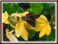 Skipper butterfly on 2-tone yellow Crossandra, in our garden