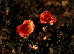 Autumn Poppies (FelixSS) Tags: flowers autumn plants flower fall nature field grass rock garden poppy poppies wildflower rockgarden mak wildernes cvijet jesen cvijece jesenski makovi