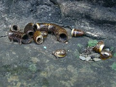 Husk (Julius.Hibbert) Tags: insect cambodia shell exoskeleton remains millipede carapace