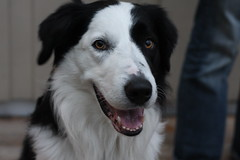 Felix being handsome (andedam) Tags: vacation dog felix bordercollie arendal summer2008 photofaceoffwinner pfosilver silveronly
