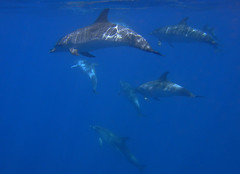Six spotted dolphins (stenella frontalis) (pierre_et_nelly) Tags: portugal dolphin pico azores aores spotteddolphin atlanticspotteddolphin stenellafrontalis zgeldelfin golfinhopintado dauphintachet stenellamaculataatlantica stenellamaculata atlantischerfleckendelfin delfnpintado golfinhopintadodoatlntico doftacat