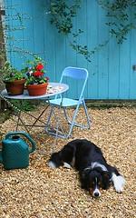 Newly gravelled drive (*Susie*) Tags: blue plants table chair pots bordercollie bramble garagedoor graveldrive