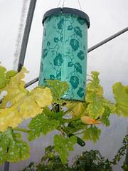 Como cultivar zuchinis