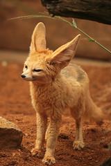 Big ears (gilltheaker) Tags: zoo ears fox essex colchesterzoo fennecfox photofaceoffwinner jalalspagesanimalkingdom pfogold pfosilver beautifulworldchallenges