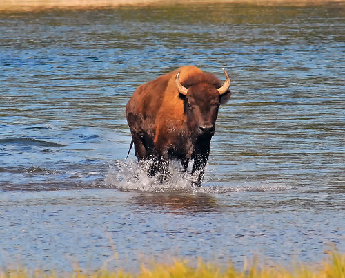 Bull Bison, Yellowstone - 0774-b