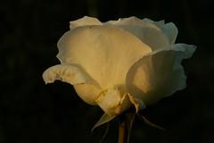 White rose in late evening sun (Zuzka Grujbrov) Tags: flowers detail rose garden goldstaraward dragondaggerphoto