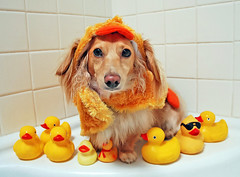 A lot of mouths to feed (Doxieone) Tags: dog cute english fall halloween yellow bathroom duck interestingness long mosaic cream rubber dachshund explore honey final blonde 2008 haired 31 coll 1002 longhaired final1 honeydog topfavorite explored ggggg englishcream petsaroundtheworld 47432103008 halloweenfall2008set