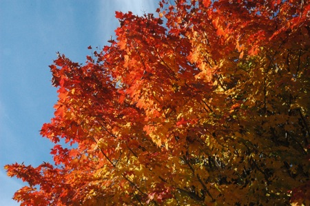 red maples = fall