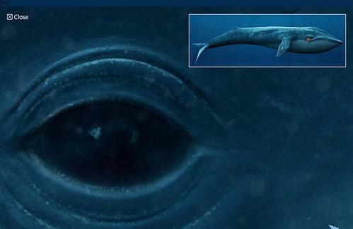 baleine-bleue-rorqual-flash