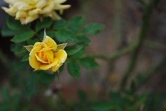 Yellow Rose (mynameisharsha) Tags: plant flower green nature rose yellow garden nikon d60 1855mmf3556gvr mynameisharsha