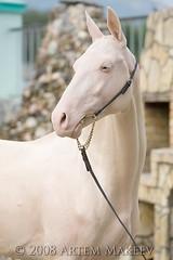 IMG_9413 (White Bear) Tags: horses horse canon russia moscow 5d russian equestrian россия лошадь russianfederation akhalteke русский конь кони лошади русские российская россии российской