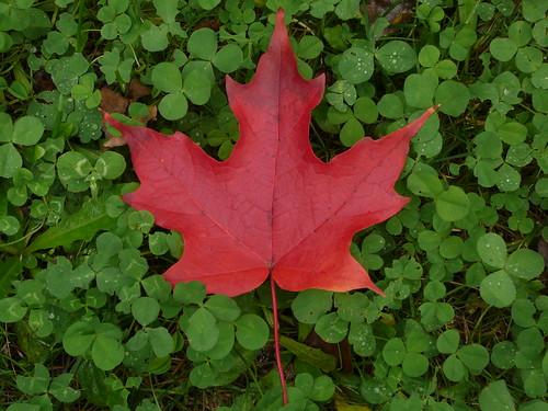 Canada - Maple