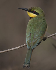 Abelharuco-dourado / Little bee-eater (Antnio Guerra) Tags: nature birds natureza aves digiscoping the littlebeeeater meropspusillus specanimal thewonderfulworldofbirds gmbia