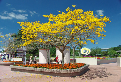 Yellow tree at epcot center a photo on flickriver yellow tree at epcot center mightylinksfo