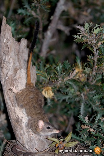 Red-tailed phascogale (Phascogale calura)