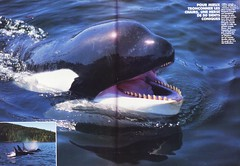 New Look n66 1989 2 (valentin666) Tags: killer scanned whale orca orque