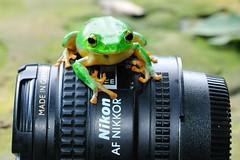 Nikon time 11-7 (Matthew Fang) Tags: macro cute green nature animal lens fun nikon image picture frog photograph d300     matthewfang