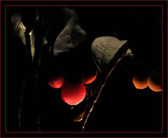 Madroos in the night [EXPLORE THANK YOU] (Marisa y Angel) Tags: naturaleza nature fruits explore 2008 frutos madroos absolutegoldenmasterpiece treestrawberry absoluterouge