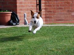 Flight of the Brownhead (JRT ) Tags: dog sun plant grass fur jack nose flying jump eyes nikon jrt russell path bricks sunny ears pot terrier belle paws jackrussellterrier d40 brownhead
