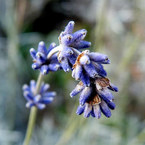 Cold Lavender