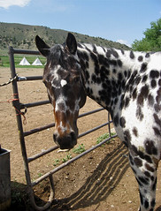 Poncho (ginfox) Tags: ranch horse brown white black appaloosa cowboy spots wyoming equine gelding horseranch cowhorse platinumphoto