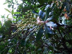 Bejaria aestuans (Ericaceae)
