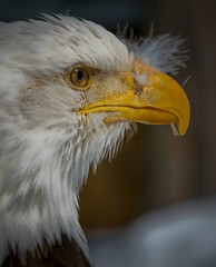Eagle eye (monnommotown) Tags: bird eye eagle oeil yeux bec oiseau aigle
