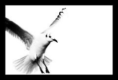 Black-headed gull (parttimedogfish) Tags: black bird high key legs wildlife gull flight wing beak feather headed flly rspb fairburn ings